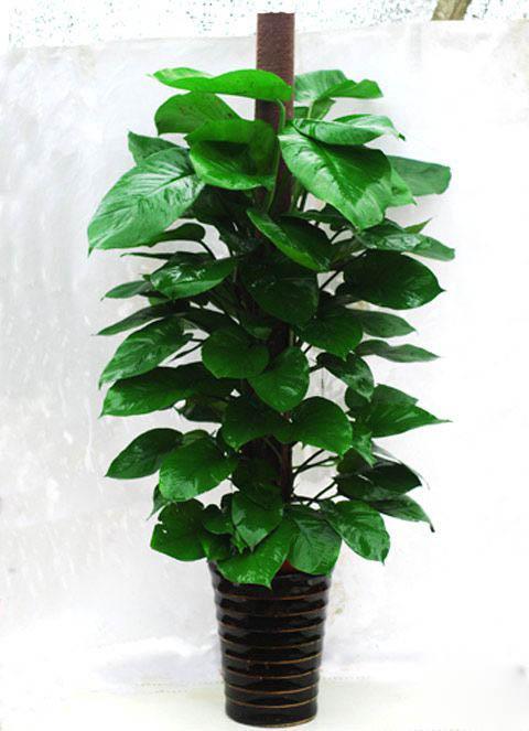 室内盆栽植物,室内盆栽植物厂家