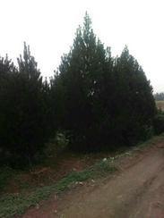 出售占地1-4米白皮松苗圃白皮松