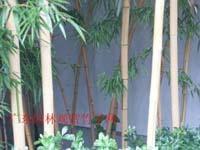 金韵竹等300种园林观赏竹苗