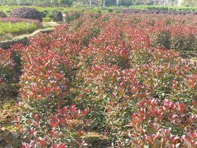 红叶石楠球高杆红叶石楠