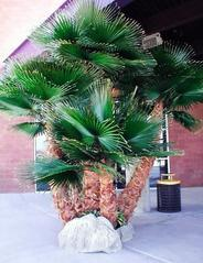 仿真棕榈树,上海棕榈树,保鲜棕榈树