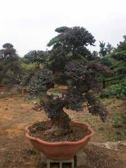 湖南绿化苗木红花继木造型盆景红花继木树桩
