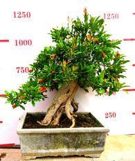 石榴盆景,石榴树木,石榴盆景技术,净化空气,美化环境