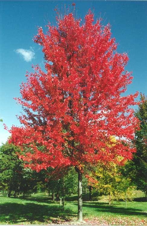 红花树彩色简笔画