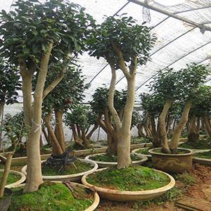 油茶树嫁接技术_co土木在线