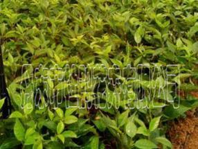 蓝莓苗M7