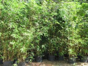 大量供应各种竹子