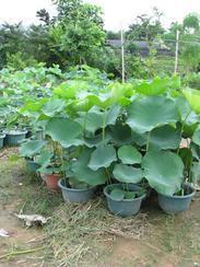大量供应深圳水生植物
