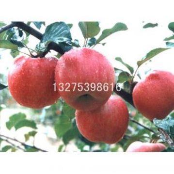 果树苗 2元/台 核桃树苗 面议 石榴树苗 面议 桃树苗 面议 苹果树苗梨