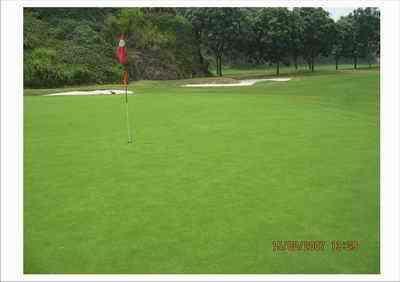 在华南地区培育常绿匍匐翦股颖