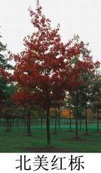 北美红栎等进口栎树种子
