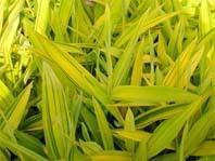 供应珍惜彩叶地被-菲黄竹苗