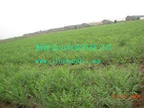 生物柴油树种——文冠果