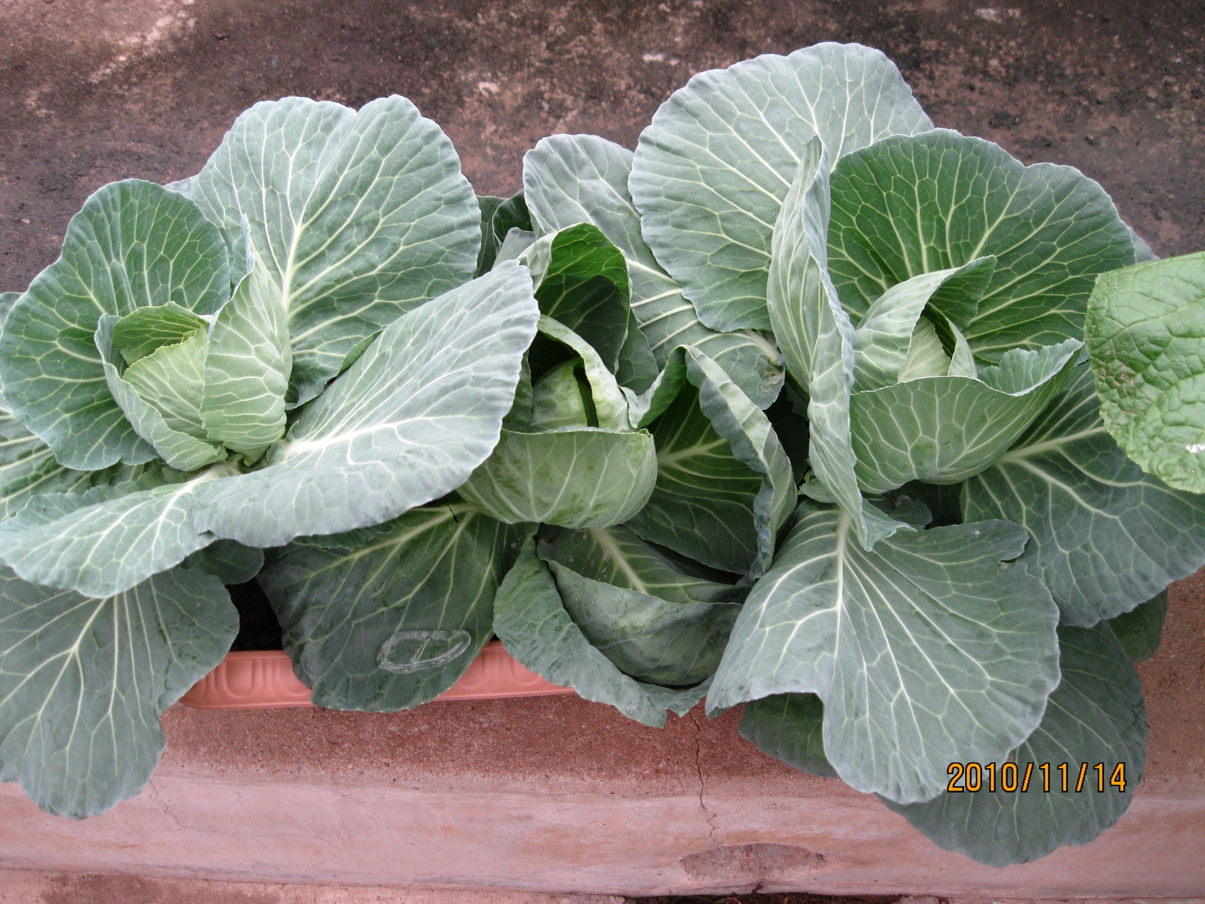 盆栽甘蓝家庭阳台种植城市家庭种菜开心农场现实版图片