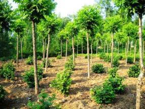 供应胸径8-20公分美国山核桃绿化树(2013-2014)
