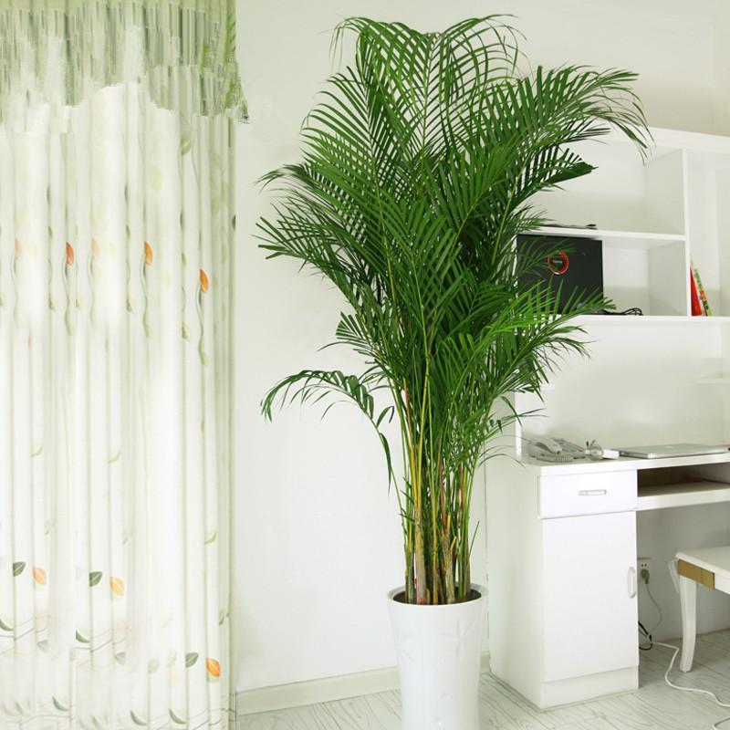 商易宝 产品列表 园林景观 花卉园艺 室内盆栽植物 室内观叶植物