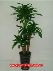 巴西木-植物租赁,花卉租赁,办公室绿化,植物出租,租花,绿化租摆