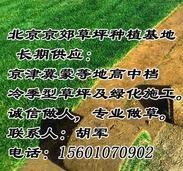北京草坪销售 草坪批发零售价格 北京草坪销售 厂家批发草坪