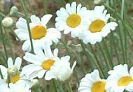 除虫菊—绿色无公害植物
