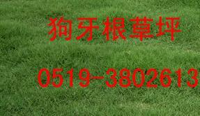 供应草坪/马尼拉草坪/狗牙根草坪/百慕达草坪