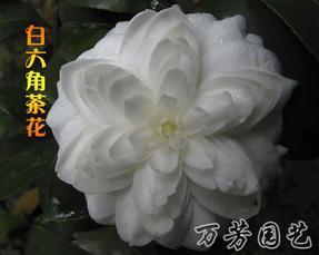 批发销售-茶花精品-白六角茶花-万芳园艺