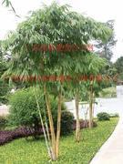 玉韵竹等300种园林观赏竹苗