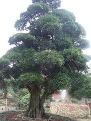 湖南苗木罗汉松树