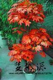 仿真树、三头红枫、红枫