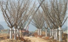 出售一批占地银杏树8-20公分银杏杀头树
