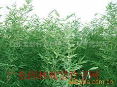 供应雨伞竹等300种观赏竹