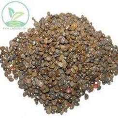 供应铁冬青种子,白银木种子,龙胆树种子,黄花槐种子,小叶黄槐种子