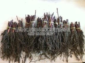 10厘米高度美国红枫穴盘苗待售