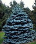 供应克罗拉多蓝杉种子