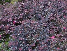 红花继木,金边黄杨,夹竹桃,蜀桧
