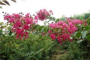 园林绿化专用紫薇美国红枫小苗