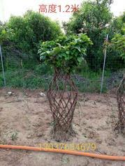 紫薇花瓶 植物编制造型 手工树艺编制