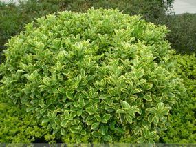 金边黄杨球报价:丛生元宝枫、美国红枫、复叶槭、香椿、榔榆白榆