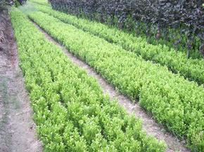 卜集林场苗木价格--瓜子黄杨、大叶黄杨、豆掰黄杨、金边黄杨价格