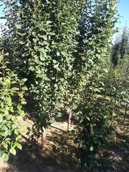 八棱海棠树价格信息