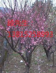苏州花木市场、苏州梅花园基地、苏州庭院景观别墅绿化工程、造型树古桩基地