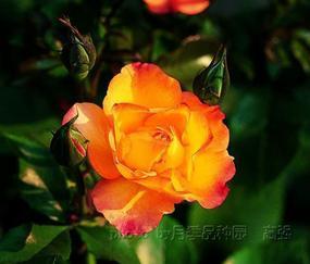绿之梦园艺公司经营精品月季100多种及各种花卉苗木。