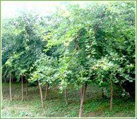供应杨树,皂角树,黄金槐,香椿树,臭椿树
