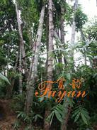 巨龙竹在旅游风景区中的合作项目
