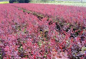 供黄杨、红叶小檗、绣线菊、锦带等花灌木。