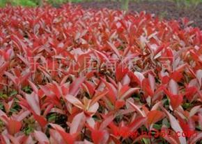 乐山沁园农业大量供应红叶石楠