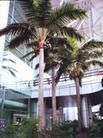 棕榈树——海枣、大王椰、葵树