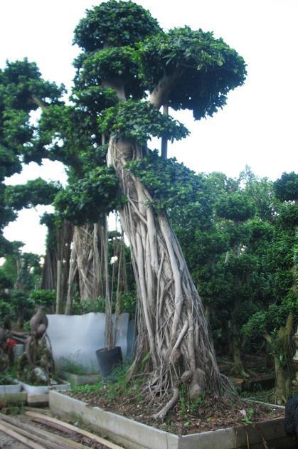 榕树盆景-绿化榕树