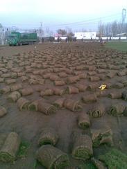 房山草坪销售大兴卖草坪石景山铺草皮