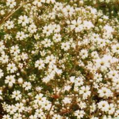 海淀农科院供应满天星种子