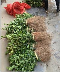 福建;优质油茶苗培育基地